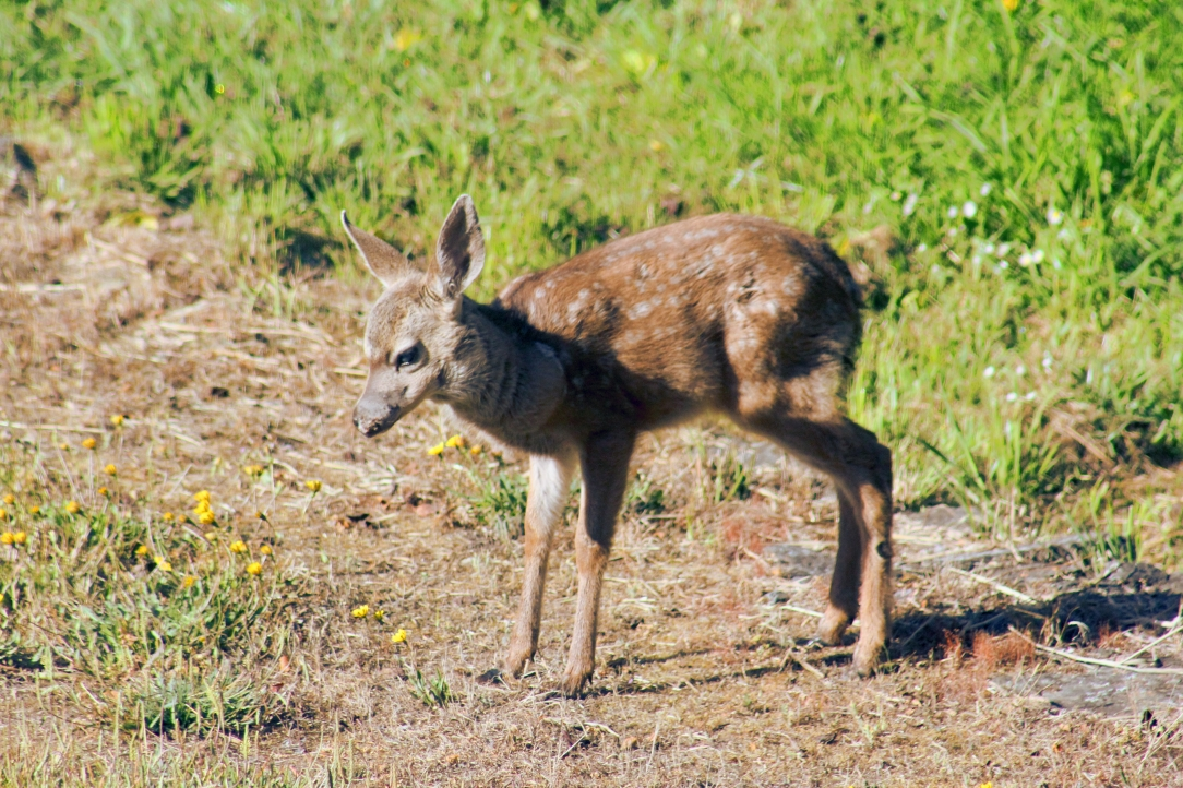 A fawn, June 19, 2020